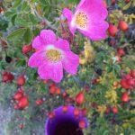 Wild Diamond Harvest Rosehip Botanical Spirits Wanaka